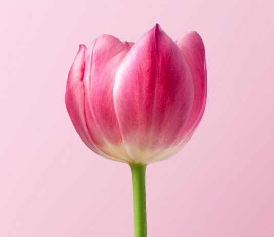 Tulip - Photo by Dlanor S on Unsplash
