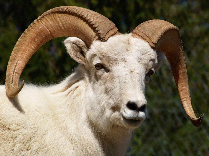 Sheep - Nation of Turks