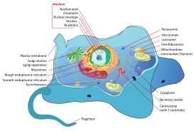 A Eukaryotic cell http://en.wikipedia.org/wiki/Cell_(biology)#Eukaryotic_cells
